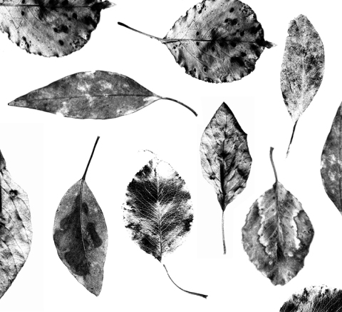 Copy of Leaves_gray_anat