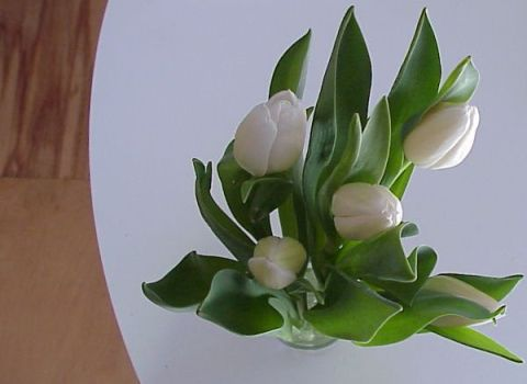 tulipswht2Fcrpt